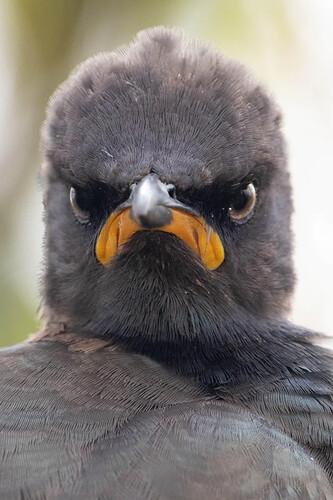 Sam the Eagle bird