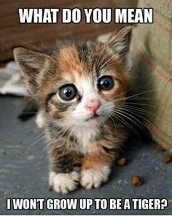 cat-humor-what-do-you-mean-i-wont-grow-up-to-be-tiger-kitten